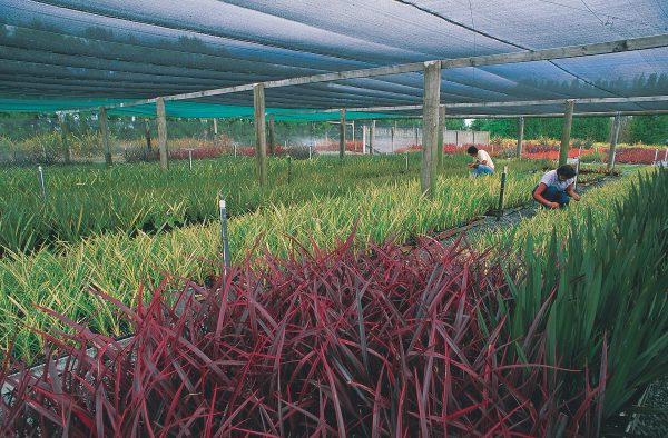 Perhaps nowhere can the beauty and variety of flax as an ornamental plant be as readily appreciated as at New Zealand Flax Hybridisers in Tauranga, an enterprise Margaret Jones (at right) has built up over 30 years. Since each of the cultivars can only be propagated by breaking off fans of young leaves from a parental plant, 15 years may elapse between the time a new variety is produced and sufficient numbers exist to release it commercially.