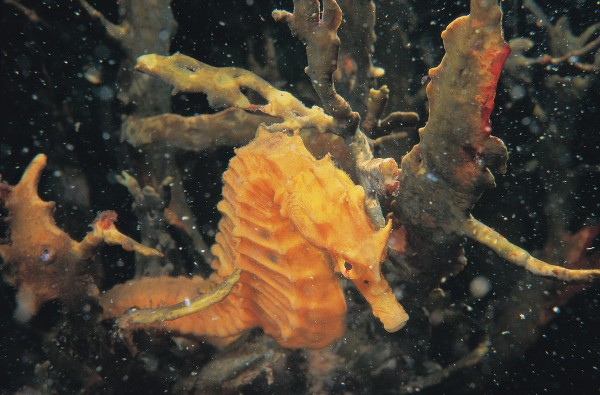 Elsewhere in the world, seahorses are creatures of coral reef, seagrass meadow and mangrove wetland, but the New Zealand seahorse is principally found among seaweed in shallow subtidal communities, though occasionally it has been reported from depths of 100 metres. Slow swimmers, seahorses are nevertheless more than capable of maintaining or changing their depth and location.