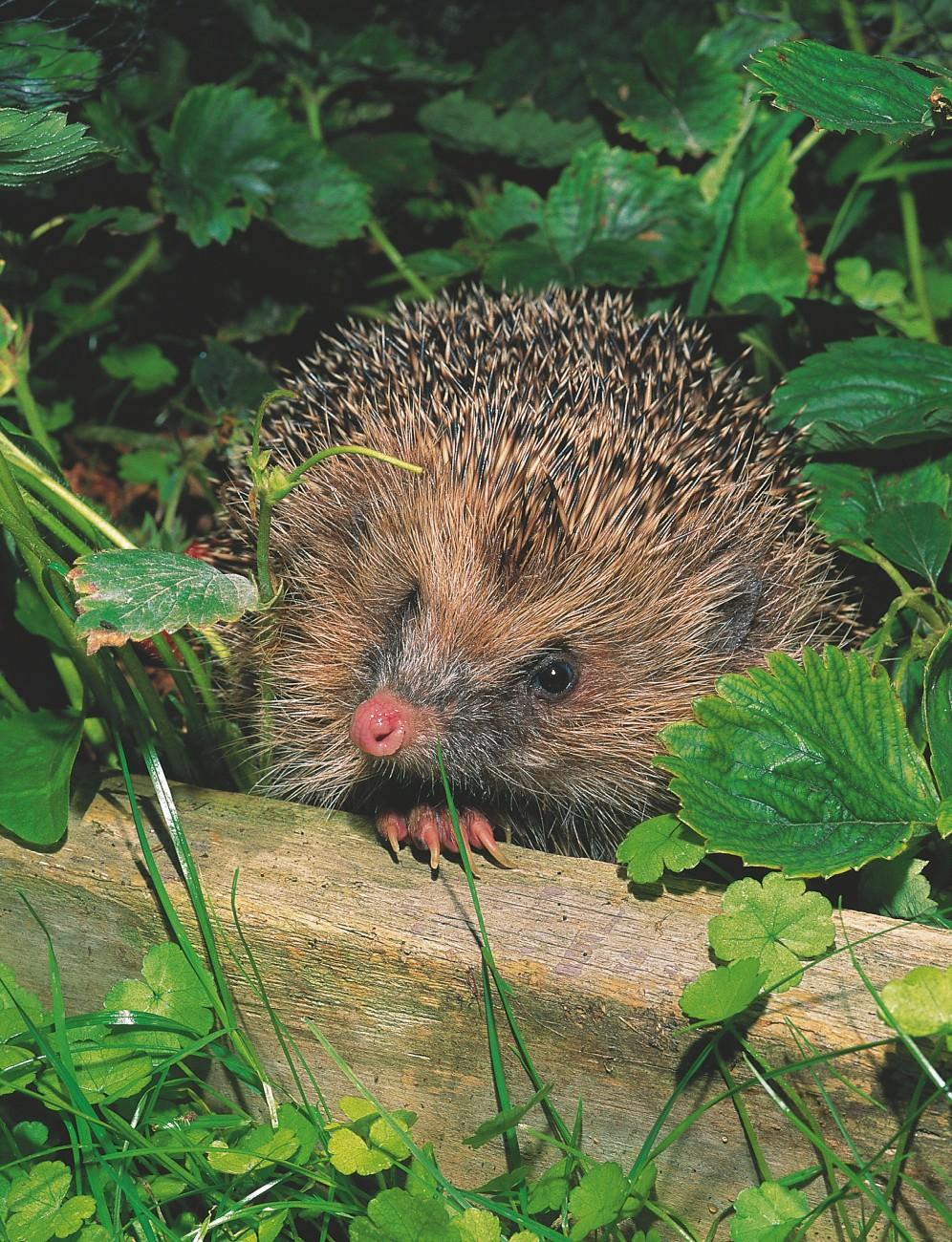 44_hedgehogs_body01