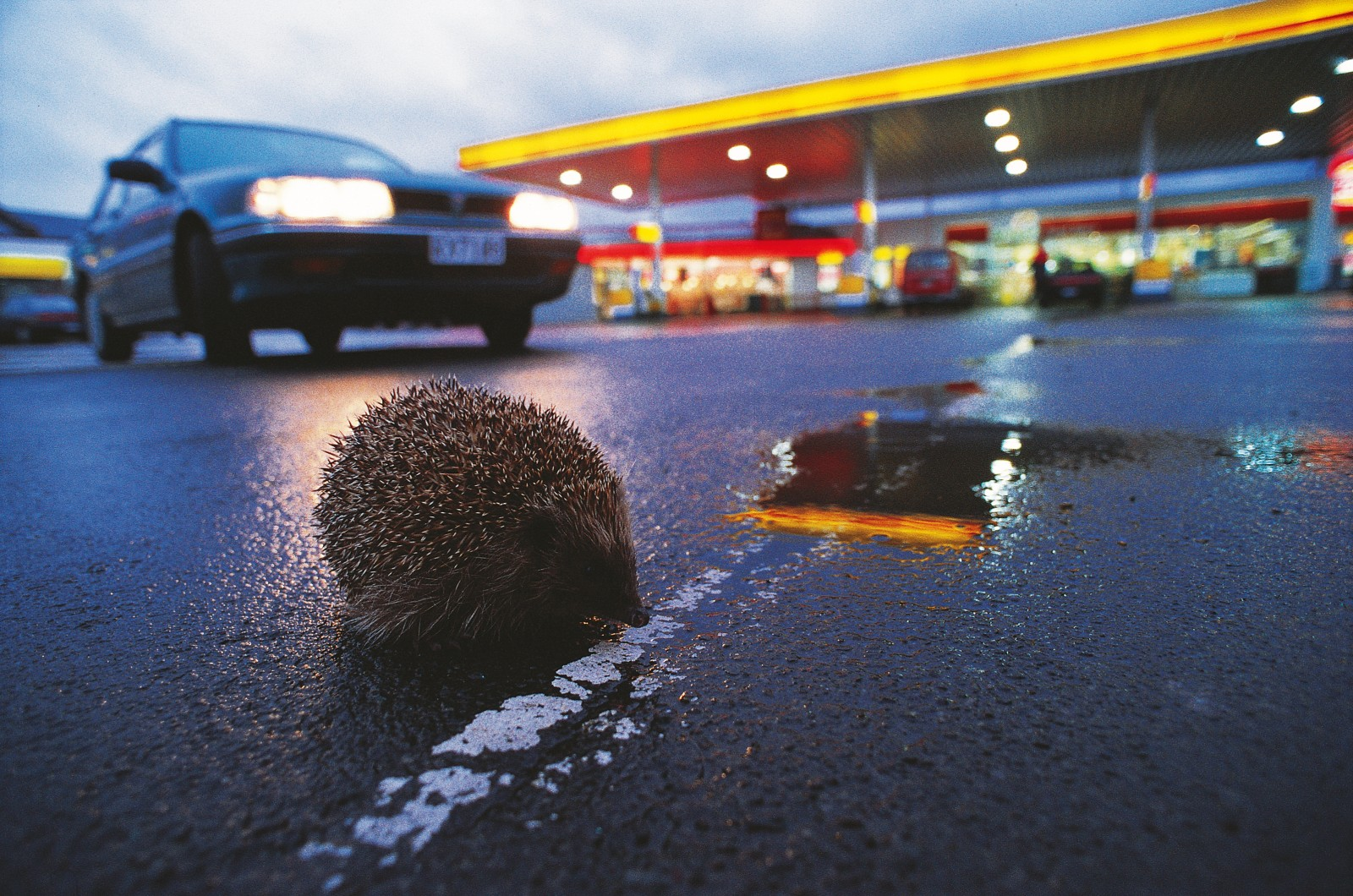 Weak eyes, and unhurried gait and a penchant for following its nose towards and intriguing scent lead many a hedgehog onto streets and close encounters with car tyres. Surprisingly, fewer of the animals perish on our roads today than during the 1950s and 1960s-perhaps a reflection of declining numbers...or of better road sense!