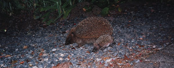 Under cover of darkness, hedgehogs roam more widely than most of us suspect. They are common in sand dunes and on and near beaches, and some even make their home in dense native bush. From about three weeks of age, young hedgehogs start to leave the nest, accompanying their mothers on hunting forays.