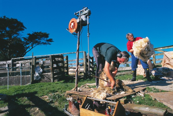 Graeme Waterson (opposite) has built a business around shearing the flocks of sheep found on smallholdings around Auckland. He sets up a generator to power his mobile shearing plant for larger flocks, and uses battery-operated handpieces when there are fewer sheep.
