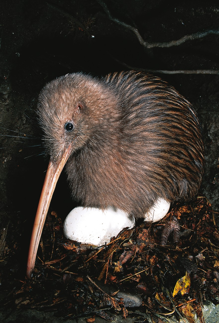 Kiwi – icon in trouble | New Zealand Geographic