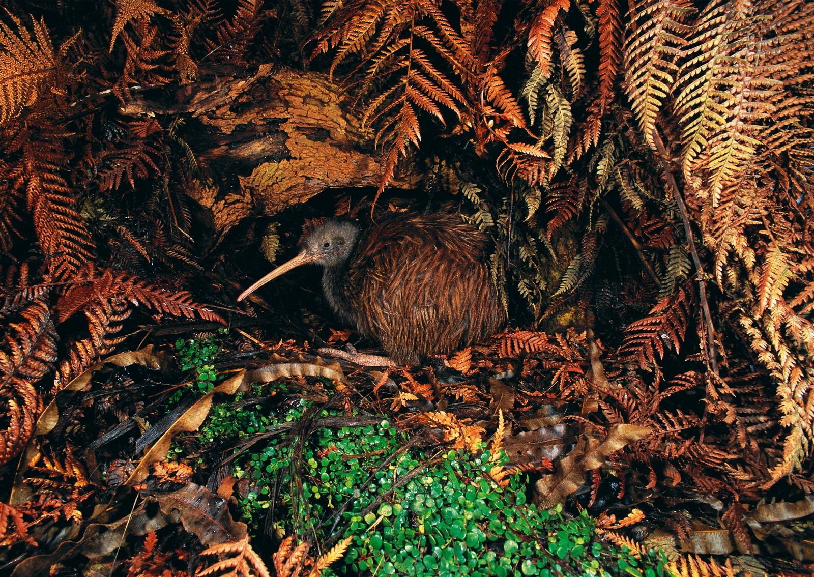 Almost indistinguishable against dry fern fronds and bark, a North Island brown kiwi crouches outside the entrance to one of its burrows. Within each territory will be dozens of burrows used by a pair of birds, each as well camouflaged as its proprietors. In comparison, a white kiwi on Little Barrier Island is disturbingly visible in the camera's flash.