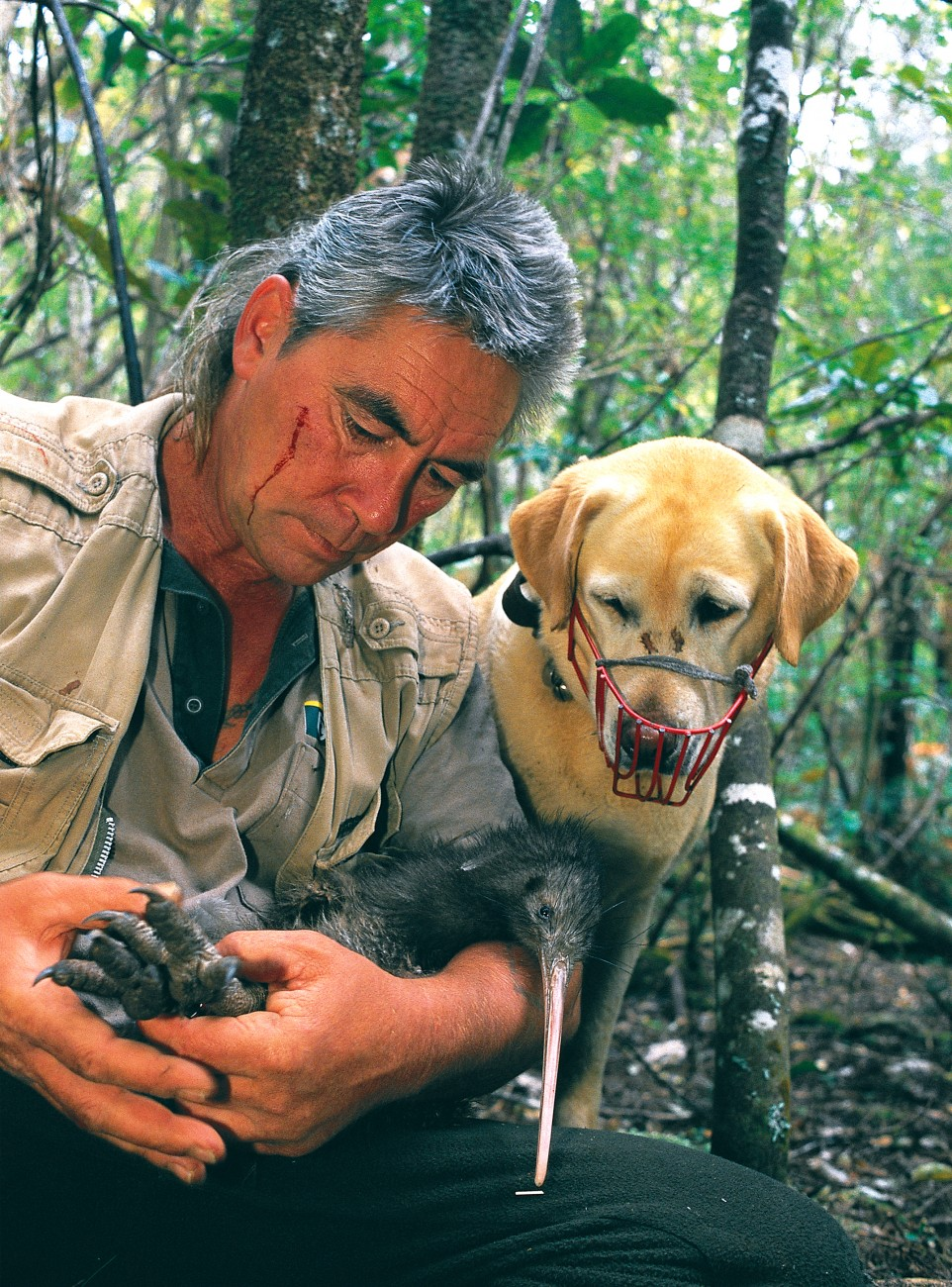 Although kiwi may be down, they have plenty of fight in them yet-witness the claw mark on Tom Herbert's cheek, as he secures and inspects a bird located by his trained dog, Gemma, in Trounson Kauri Park. If we can control introduced predators, our much-loved and highly adaptable national emblem could stage a comeback in the next century.