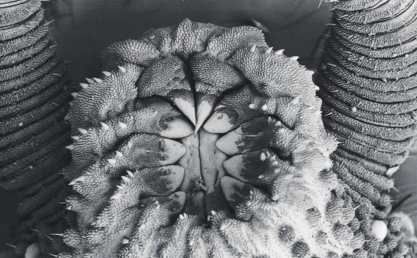 The often spiked structures on the heads of some Australian male peripatus are used to transfer sperm to the female's reproductive tract. Pictured is the partly everted.