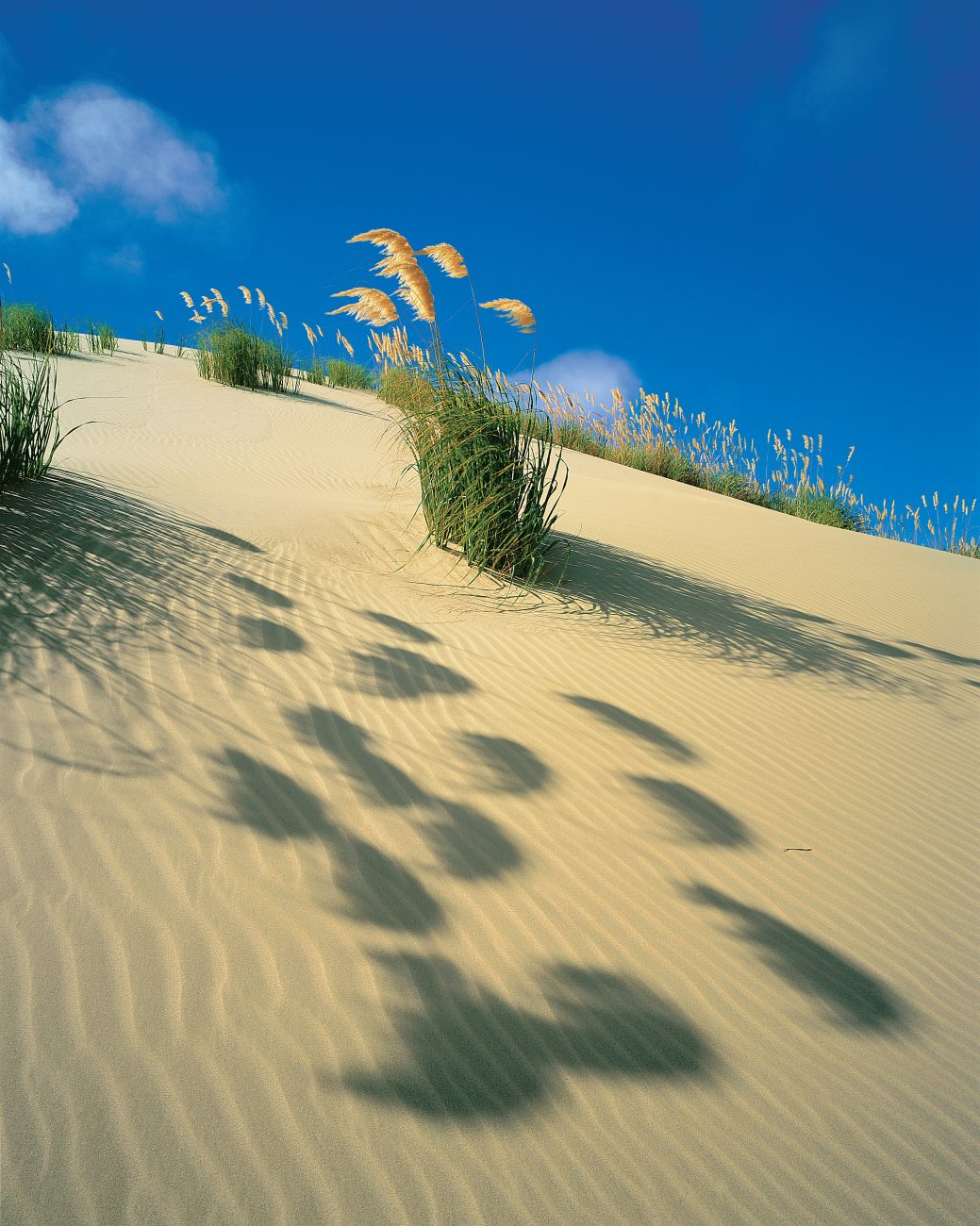 For dunes to stay bare, they must be in a stat of flux, either being eroded or built up. Once they become stable, vegetation such as the feathery-flowered toetoe will take root, and the stabilisation process will thus be accelerated.