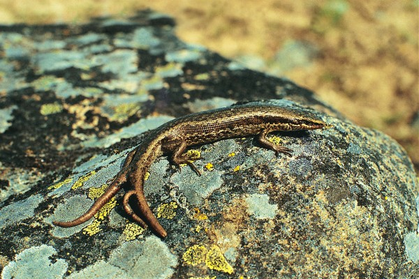 In extreme circumstances, a skink may shed part or all ofits tail to distract an enemy. In time the lost portion will regrow, but ifa tail is damaged or lost through injury, it might grow back forked. This long- toed skink's three-pronged tail speaks of an eventful life.