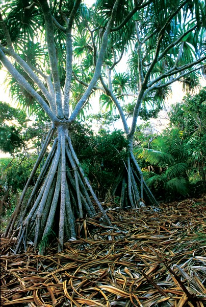 Coconut palms are absent from Lord Howe, but another tropical stalwart, the pandanus, is endemic.