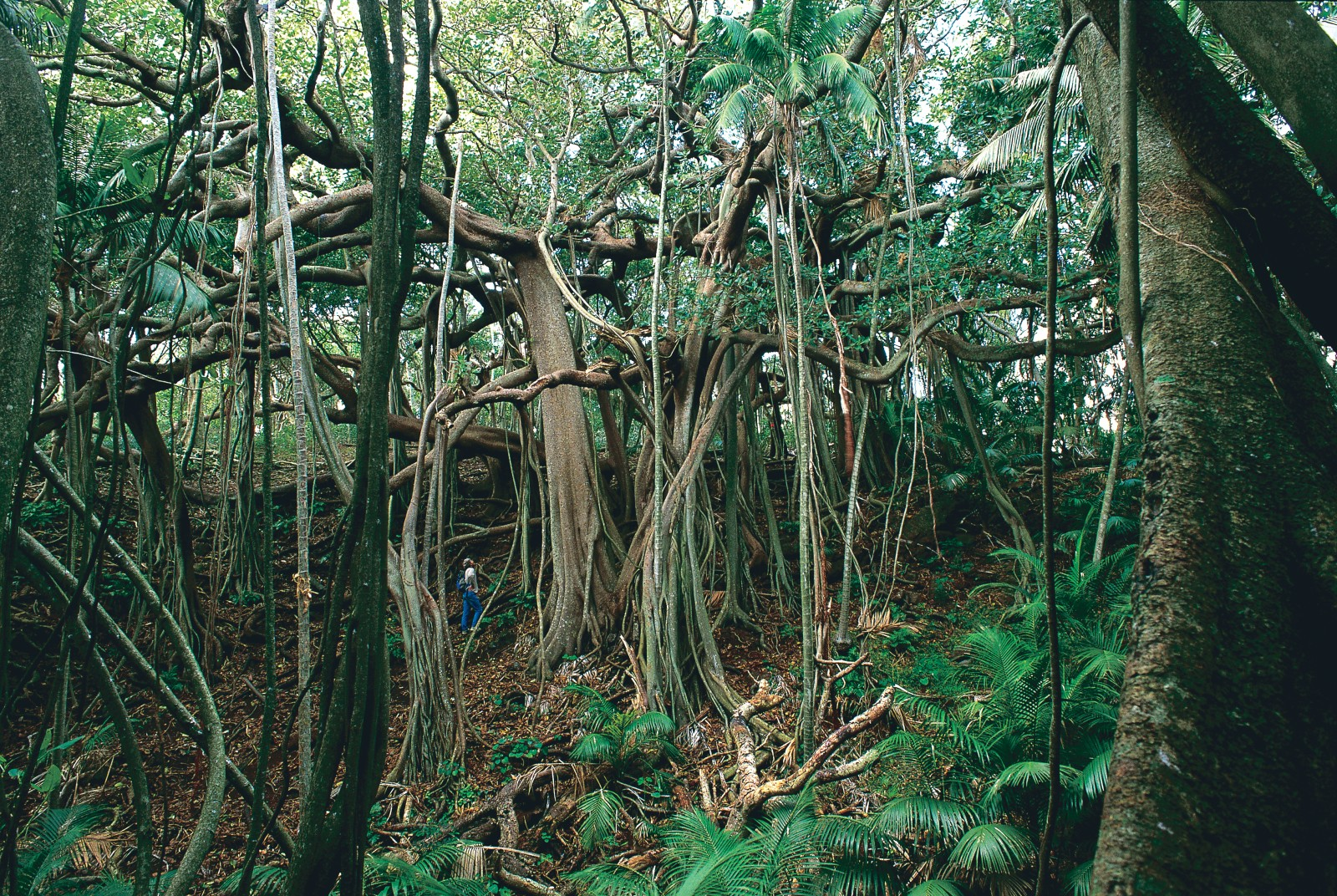 Banyans are the largest trees on the island. One specimen, destroyed by a landslide from Mt Gower in 1998, covered two hectares. The large spreading boughs are supported by hanging roots which develop into additional trunks.