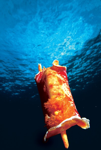 More than 500 species of fish, 83 types of coral and innumerable other invertebrates—such as the vivid 20 cm swimming sea slug known as the Spanish dancer—are found around the waters of the island, which has recently been declared a marine park.