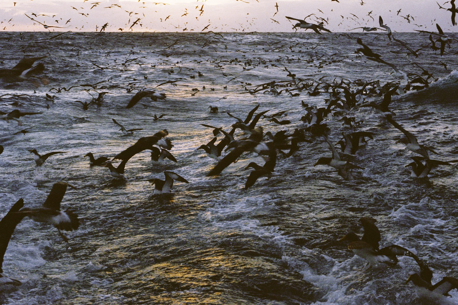 Great flocks of oceanic birds, including albatrosses, mollymawks, giant petrels, follow fishing vessels, having learned that easy meals may be had around them. These days, with all fish scraps being turned into fish meal, the only pickings to be had are fish which are forced through the mesh of the net.