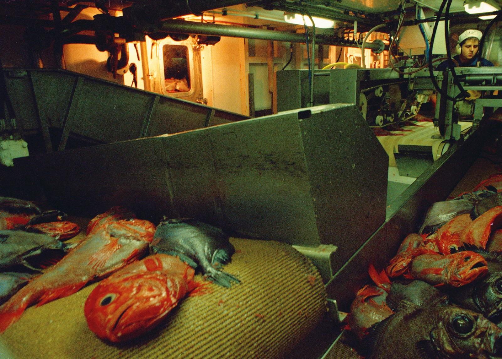 "Fish are scaled, filleted, skinned and trimmed by a variety of machines within Rehua's on-board factory. Different fish species require different machine configurations, and setting up and operating the machines is a skilled job. Waste (above), once dumped over the side, is now converted to fish meal, a byproduct so valuable that it is known as ""brown gold."""