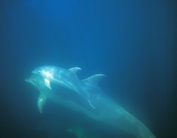 Small animals-especially babies-are more vulnerable to cold than adults are. To compensate, the Doubtful Sound dolphins have become seasonal breeders, giving birth in summer. In warmer parts of the world, bottlenoses breed year-round.This calf is only a few weeks old.