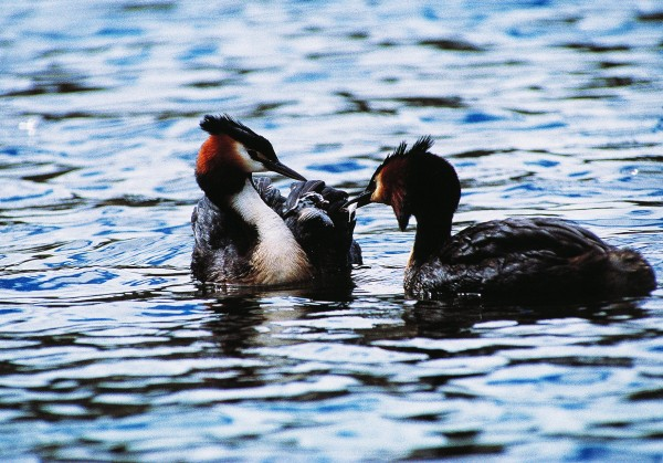 Grebes have the peculiar habit-of unknown utility-of consuming some of their smaller feathers. Here an adult seems to be offering a feather to a chick to sample. Fish and invertebrates are the mainstays of the grebe diet. Young grebes commonly snuggle into the feathers on a parent's back, sometimes staying in place even when the parent dives.