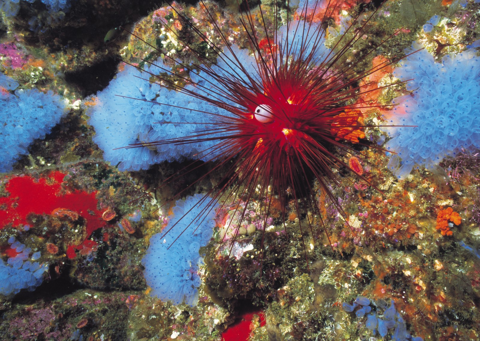 Both the needle-spined Diadema sea urchin and the pale colonial ascidian Clavellina are uncommon species, here photographed near White Island.