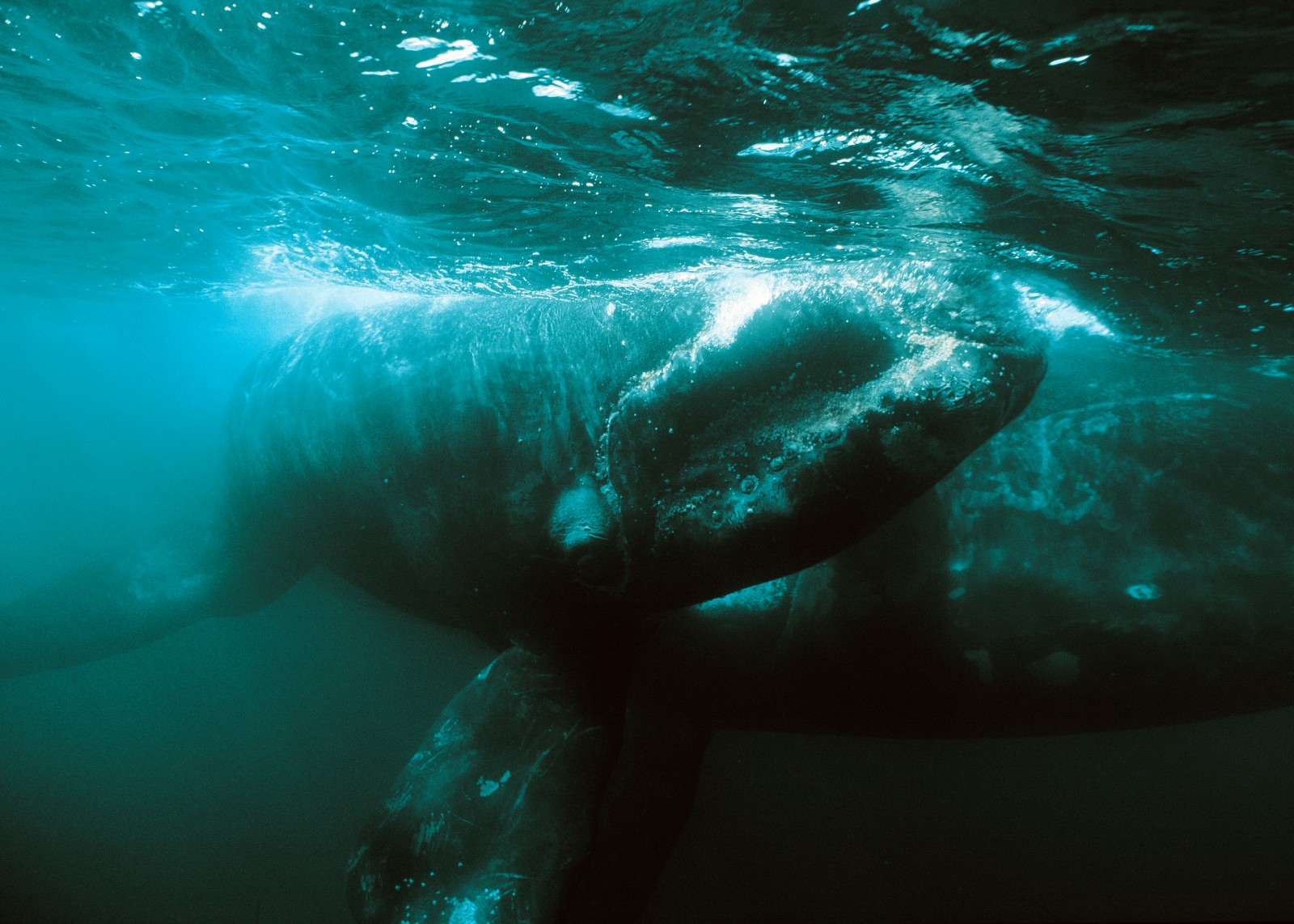 The southern right is one of a range of whale species which can be seen in the bountiful waters of the Bay of Plenty, but a close encounter with a mother and calf is something a photographer might wait his whole life to capture.