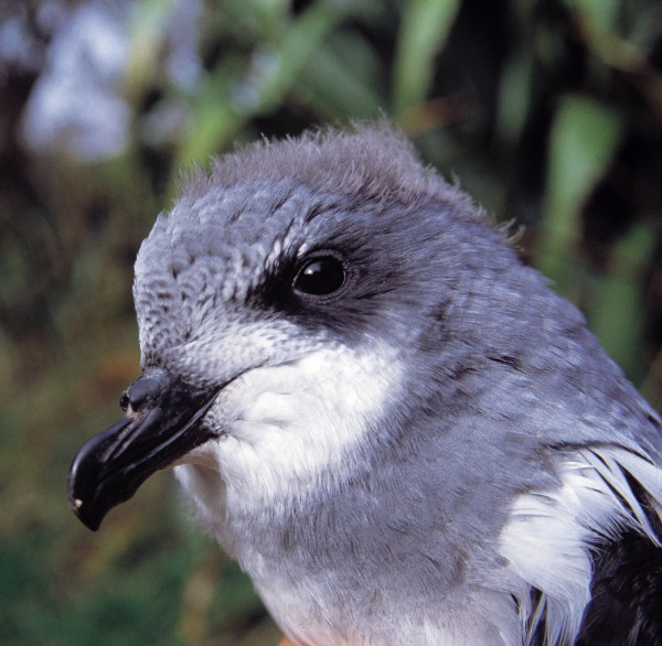 The rare Chatham petrel (left) and its much more abundant nemesis, the broad-billed prion, both belong to our largest family of seabirds, the Procellariidae. Both species are of similar size and appearance, although the beaks and heads differ in shape. The Chatham petrel shown here is a young individual still bearing traces of down on its head. An even rarer petrel, the Chatham Island taiko or magenta petrel, breeds on the main Chatham Island.