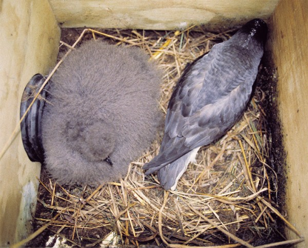 Once the solitary egg has hatched, the chick is removed from its burrow and placed in a floorless box inserted in the ground at the same site (below and bottom). Broad-billed prions, which displace or kill petrel chicks in natural burrows, can be discouraged from entering the new structure; Chatham petrel parents are undeterred.