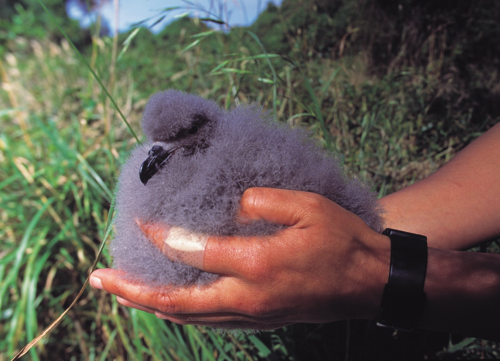This young Chatham petrel-heavier than its parents at this stage of its life-is close to fledging. In the past few years, intense management of the species, including the provision of artificial burrows, has resulted in 70 to 90 per cent of chicks surviving. Previously, as few as 20 per cent survived.