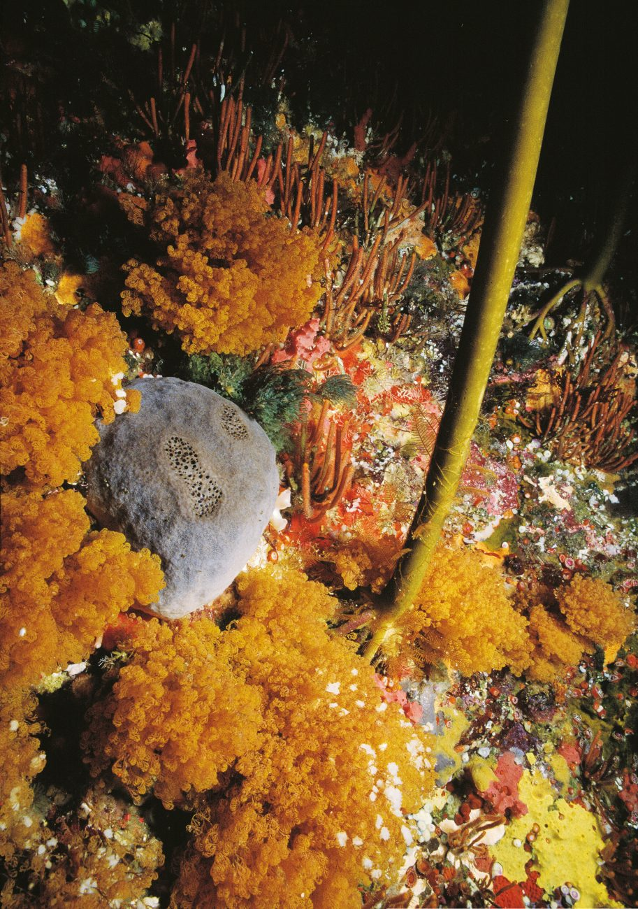 A froth of orange Cribricellina cribraria and fingers of Steginoporella neozelanica vie for space with other filter feeders—including a large grey sponge—on a kelp-studded Northland rock face.