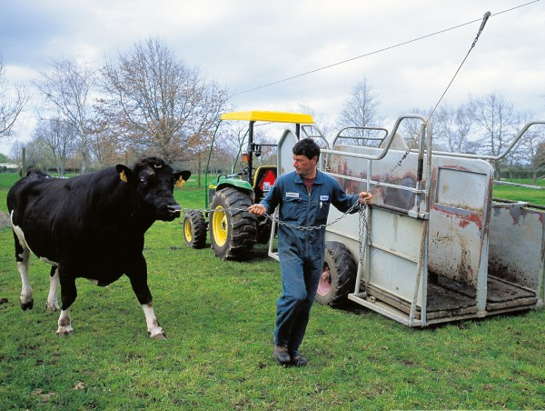 Hot Kat, being led away for semen collection, is one of Livestock Improvement Corporation's top Friesian sires. Such a bull may sire as many as 250,000 offspring, some likely to have born from frozen semen after his demise.