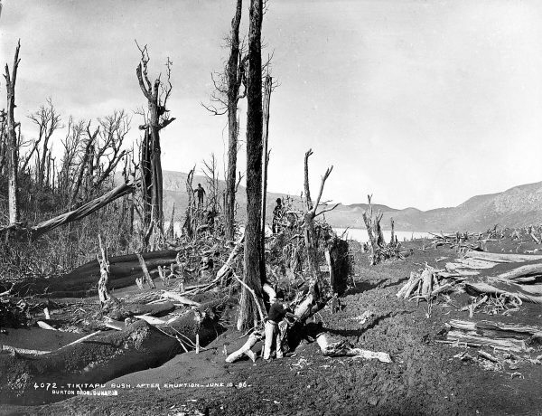 Like much of the vegetation in the area, this was laid waste by the eruption of 1886.