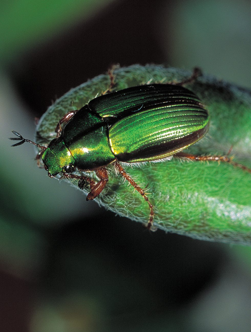 As its name suggests, the manuka chafer (Pyroonata festiva) dines on the aromatic leaves of New Zealand tea tree. Usually emerald green, this member of the scarab, or dung-beetle, family may also appear in blue, orange, red or purple livery. It is especially common beside streams.
