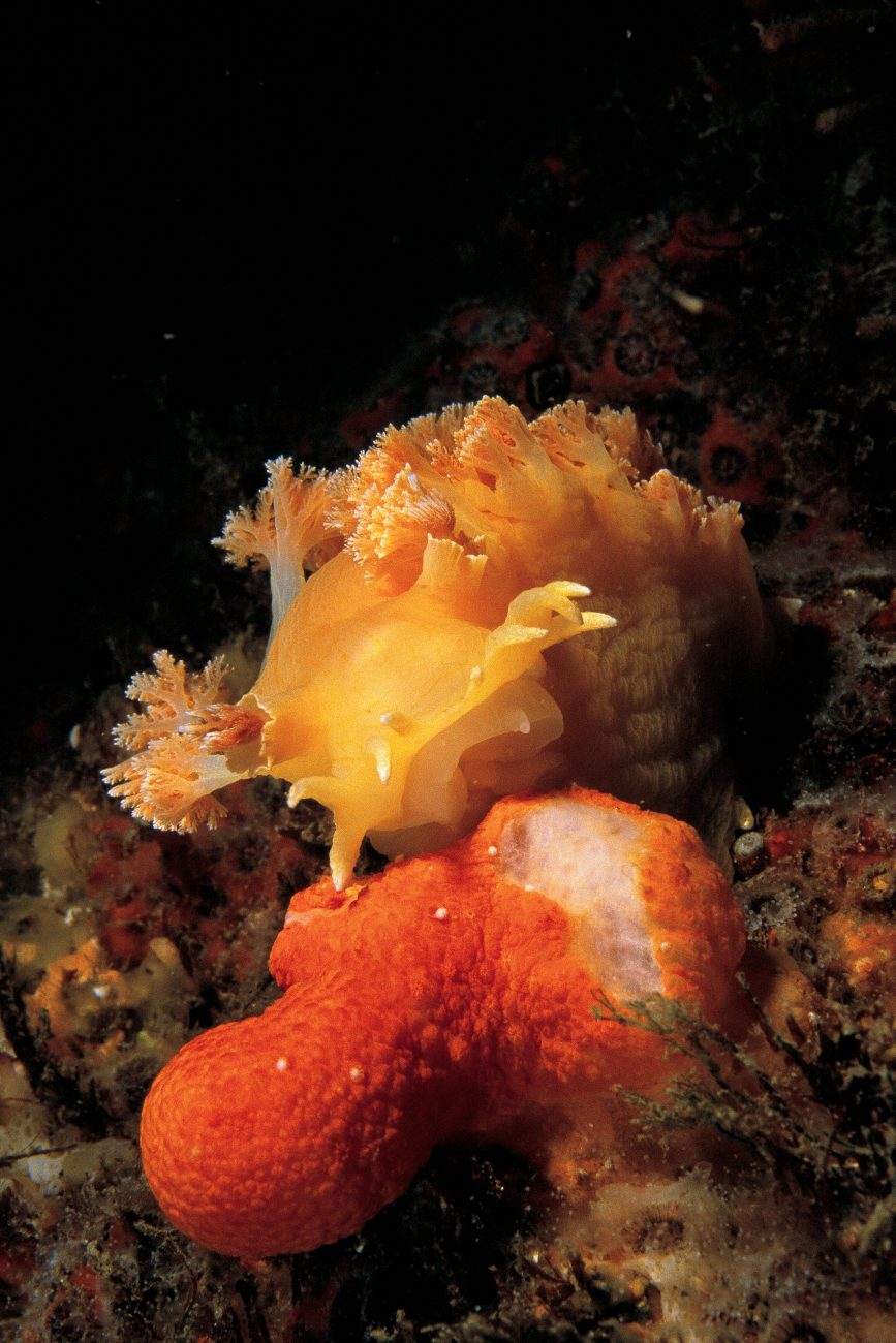 An apricot nudibranch, Tritonia incerta, approaches an unsuspecting soft coral, Alcyonium aurantiacum, which has its polyps extended. Although the coral quickly retracts, this matters little to the hard rasping radula of the slug, which quickly chews its way through the orange outer layers of the coral.