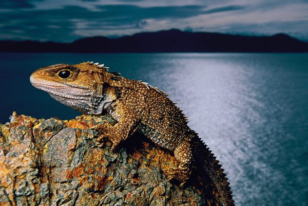 Tuatara have survived hard times before, but now that they are marooned on small offshore islands, as little as a 1.5°C temperature rise could tip them toward extinction.
