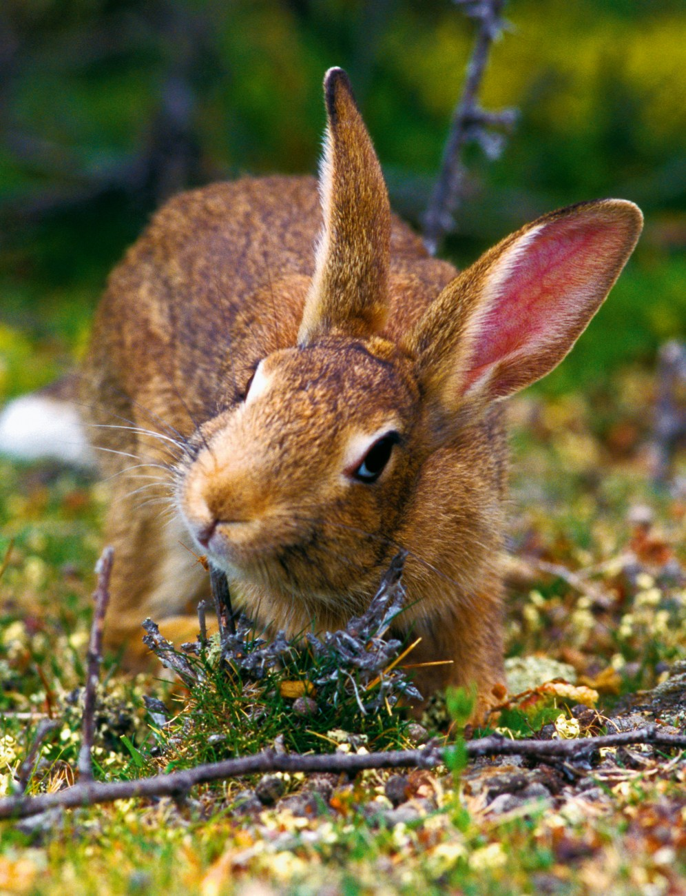 It looks endearing but the rabbit's ferocious appetite means that, in some parts of the country, it is more destructive than any other introduced pest. Its resistance to environmental stress and its remarkable reproductive capacity makes it almost impossible to control.