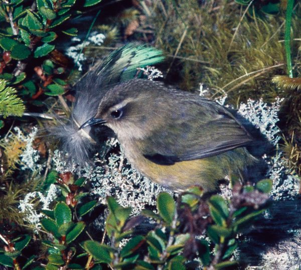 Unlike the kakapo, whose feather this rock wren has appropriated for its nest, rock wrens are still widespread in the South Island.