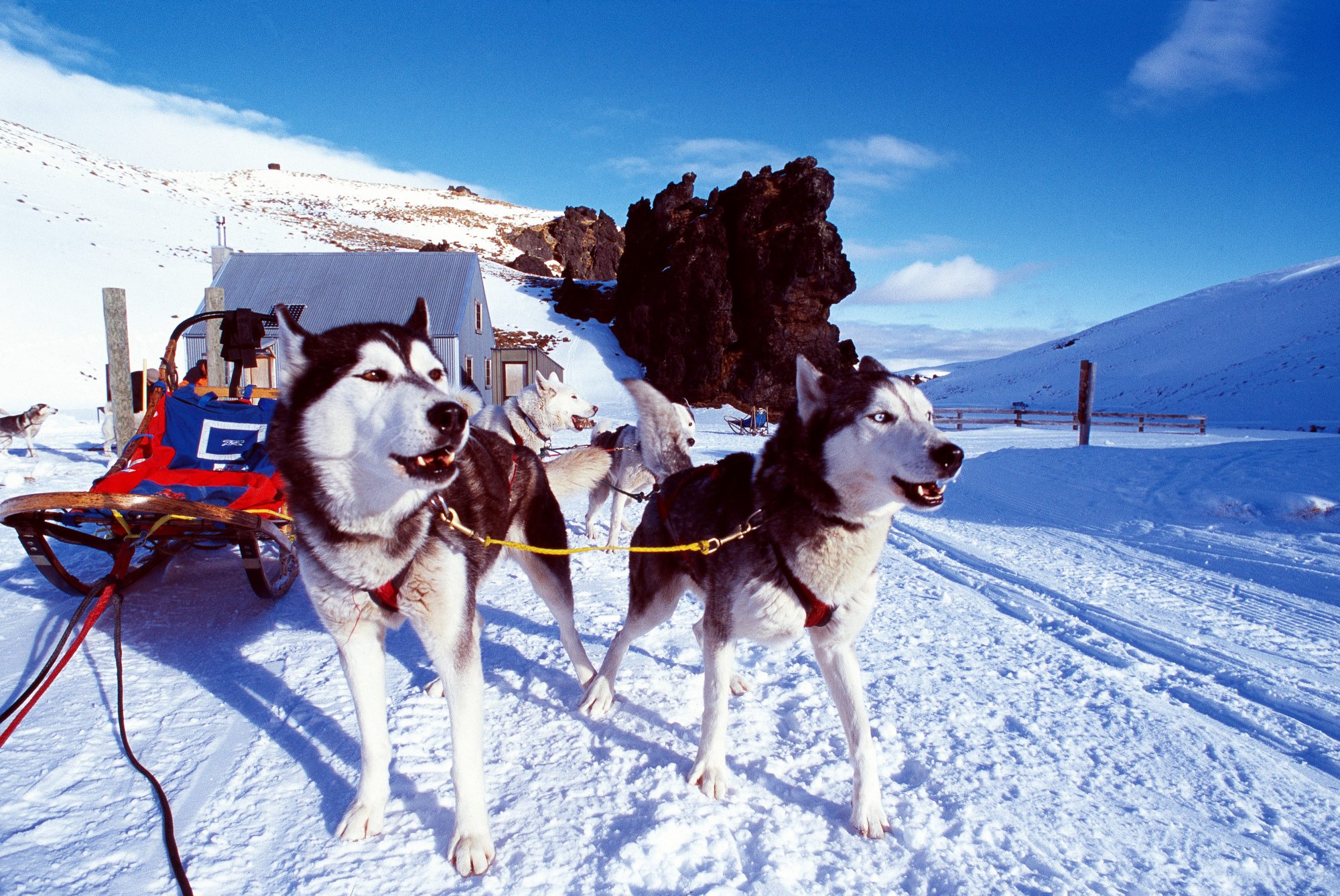 """Hooked up and eager to go, Ray Holliday's commercial sledding team of Siberian huskies wait outside the Meadow Lee Hut at the Snow Farm during an overnight trip. Having run the day before, these dogs are generally quieter and easier to handle than """"weekend warriors""""."""
