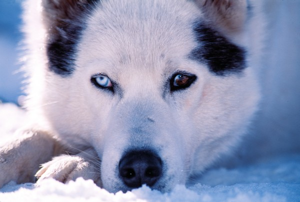 Complete or partial heterochromia, where one eye is ice-blue and the other brown, or where one iris is both blue and brown, is not uncommon among the Siberian huskies.