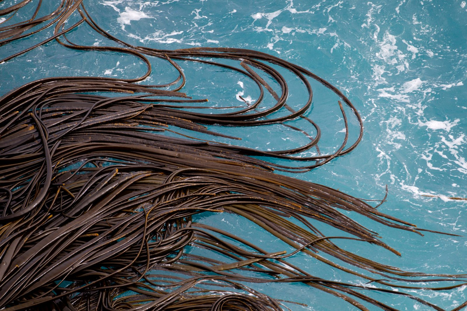 The long tendrils of Antarctic bull kelp twist and ripple according to the swell of the tumultuous Southern Ocean. Despite the relentless pounding, this kelp, the largest of all the brown algae, is one of the most common species in the intertidal zone of most southern continental coastlines and the subantarctic islands. One of the secrets of its success are the kelp equivalent of roots, holdfasts. These structures, which may measure up to a metre across, anchor the kelp so strongly that it is not uncommon for a piece of the rock to break off before the kelp is torn free. Another reason for the widespread distribution of the species is its ability to stay alive at sea in masses of tangled fronds known as rafts. Free-floating kelp can remain alive and still reproduce for several months, and it is estimated that there are tens of millions of these rafts in the Southern Ocean at any one time. They not only assist in the dispersal of the kelp itself, but can also support mini-ecosystems of travelling marine invertebrates and other micro-organisms that otherwise would have no chance of crossing vast swathes of ocean. Like forests on land, kelp forests are also important in maintaining biodiversity in the ocean, particularly near the coast. The dense stalks and fronds provide not only a haven from inclement weather but also shelter from the sun and protection from predators.