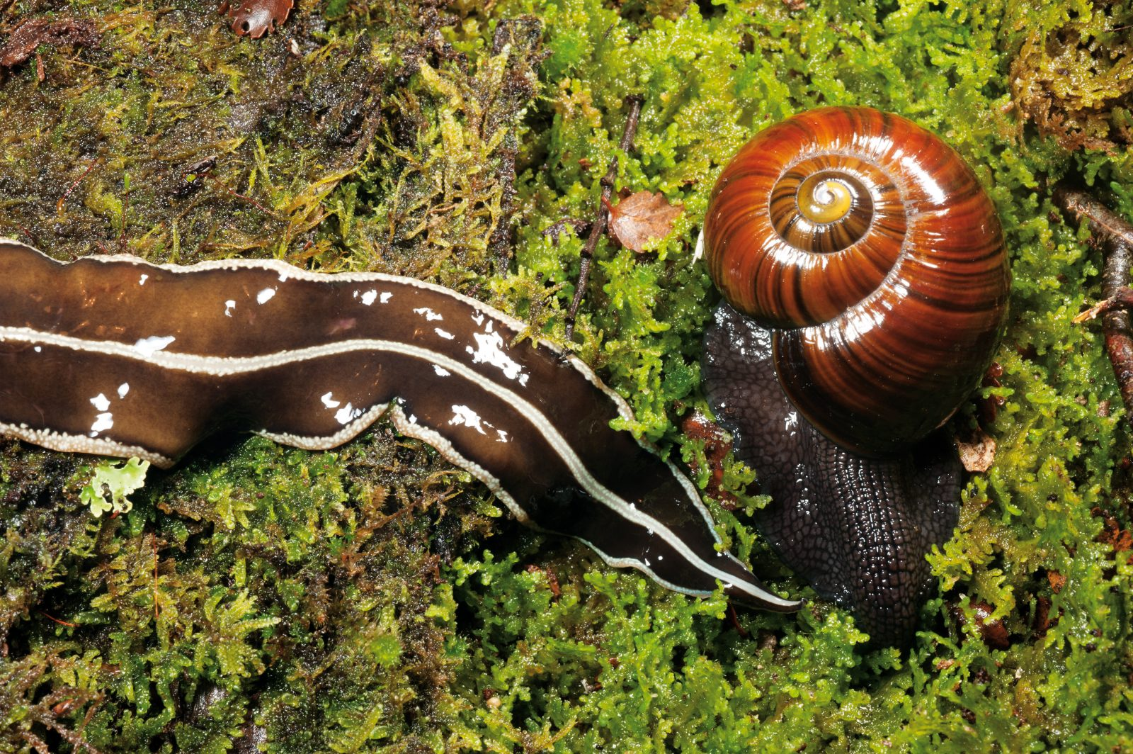 When these two invertebrate predators go head to head, there is only one winner—which is why the Denniston giant snail is ducking for cover. Flatworms can outpace their more cumbersome competitors, and have a range of strategies for attacking them, including coiling around them like a snake, or flipping them over and pouring digestive juices into the shell aperture.