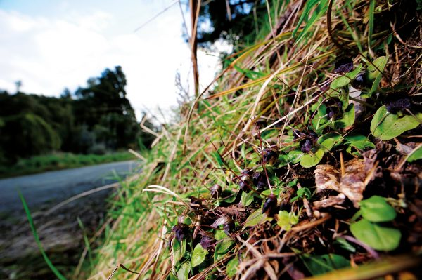 Big red spider orchids, Nematoceras iridescens, bring beauty to austere haunts such as papa clay beds and limestone banks, even a roadside berm in Wanganui (pictured). Most New Zealanders would deny having ever seen one, but these alluring blooms line bushwalks and byways from Northland to Stewart Island.