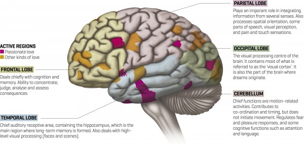 Love cannot hide from the gaze of functional magnetic resonance imaging (fMRI), which can monitor regions of brain activity. Yet the result is far from clear. Many regions of the human brain are active during a love experience, but different areas of activity correspond to passionate love and other forms of love, such as compassion and attachment.