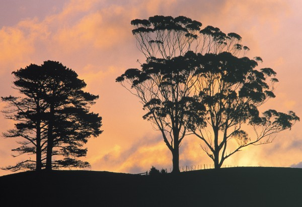 Both pines and eucalypts were once candidates for filling New Zealand's wood gap. Today, Pinus radiata constitutes 91 per cent of our forestry estate and eucalypts a mere 2 per cent, most of that destined for pulp. Given the qualities of the timber, should we look again at the place of the great Australian tree in our forests?
