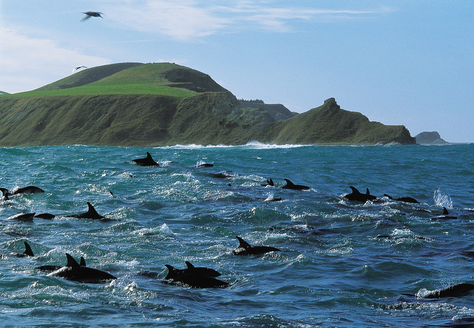 Both dusky and Hector's dolphins, along with sharks, seals, seabirds and whales, are reviving the fortunes of Kaikoura as visitors delight in the opportunities the area offers for marine encounters.