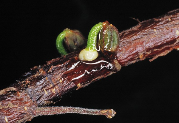 Mistletoes rely on birds to disperse their seeds, each of which is encased in a fruit. The skin of the fruit breaks down during its passage through a bird's gut, exposing a sticky layer that adheres to any branch on which it is deposited (such as the black beech twig above). Germination involves a special shoot that bores into the host branch to tap into water and minerals. The odds of a mistletoe seed landing on a branch of the correct size and the correct host are very small. In Australia, there is a type of mistletoe berry-eating bird which perches in line with a branch, rather than across it, increasing the likelihood that an excreted seed will land on the branch.