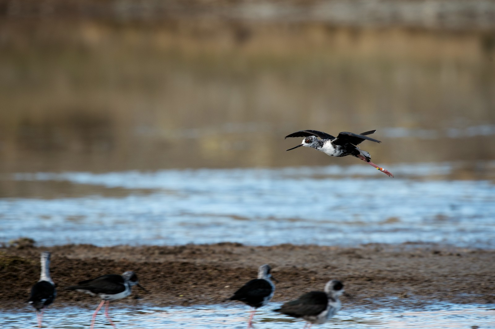 "A juvenile kakī takes to the air moments after its release near Lake Tekapo, part of a group raised by DOC in Twizel and the Isaac Conservation and Wildlife Trust in Christchurch. Last spring, 104 birds were returned to the wild, divided between the Tasman and Godley river deltas. ""It's a relief,"" says Liz Brown. ""The longer you hold onto them, the more chance that they'll injure themselves or get sick, and the less chance they have of picking up wild ways."""