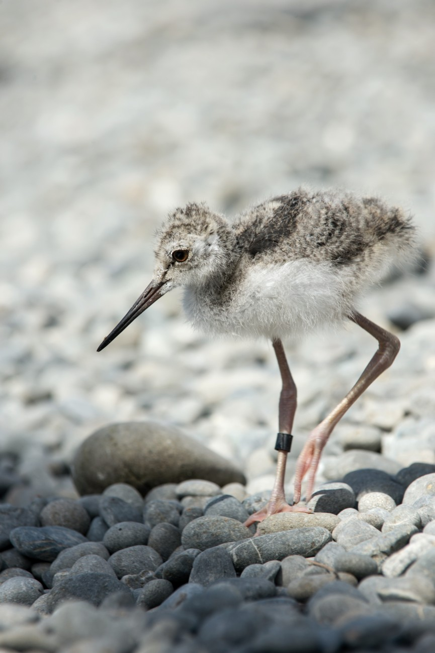 Within hours of hatching, kakī chicks are capable of fending for themselves in the wild, swimming and hunting for food. This chick was artificially incubated at the Isaac Conservation and Wildlife Trust, then returned to its parents. The trust holds five captive breeding pairs, and removes their eggs to prompt them to lay additional clutches. The third clutch of chicks is returned to its parents to raise.
