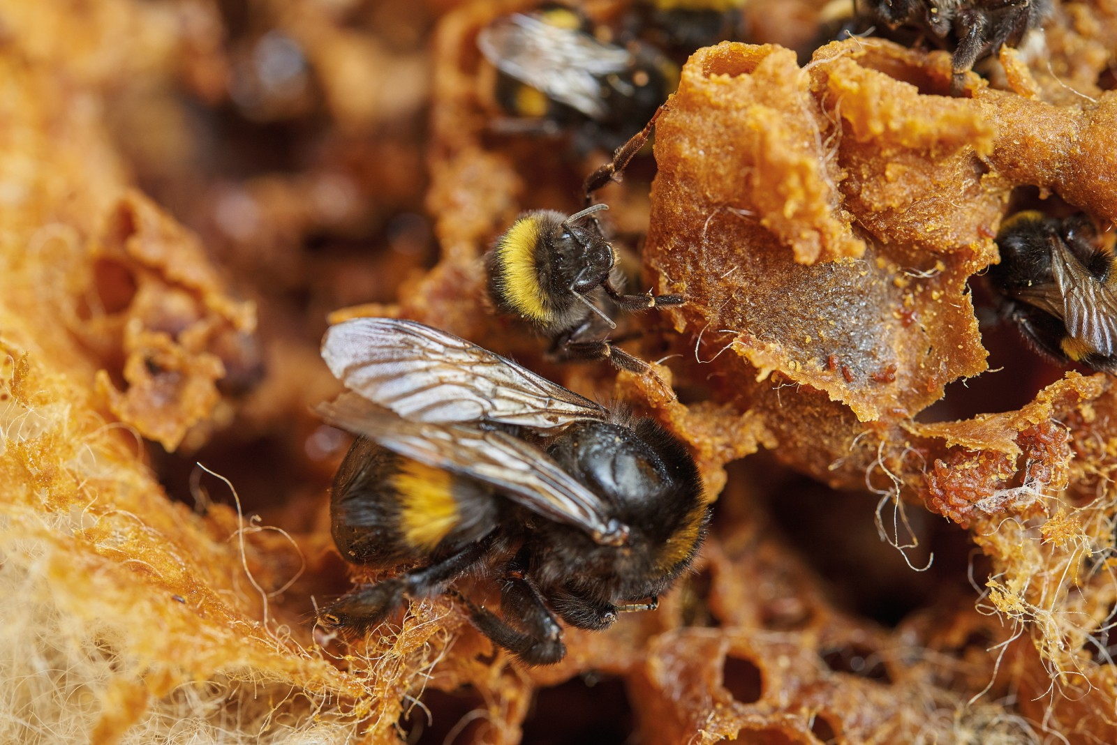 The queen bumblebee can be more than twice as large as a worker. An established bumblebee nest looks like a ramshackle waxen slum, housing as many as 300 bees. The nest cells, built to house larvae and then recycled as nectar pots, are piled on top of each other like a wobbly stack of igloos.