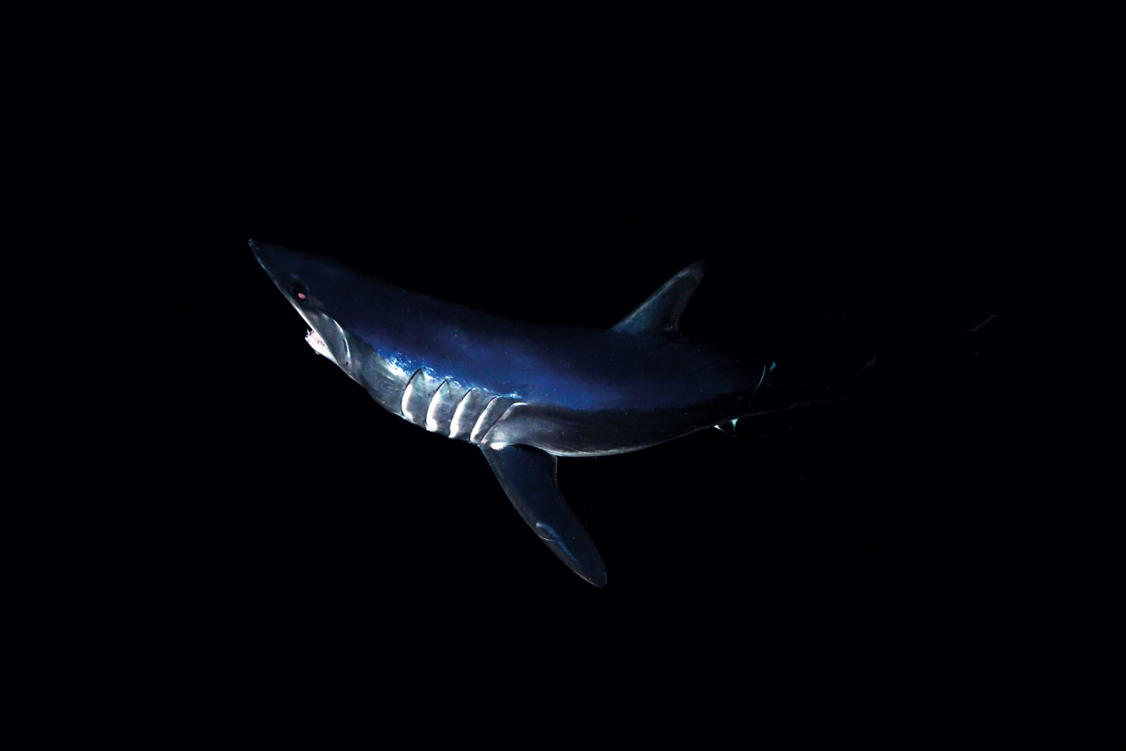 The electrifying metallic blue of mako's dorsal surfaces is a perfect colour match for the inky oceanic waters that are its home. Shortfin mako are a global species, found in every ocean of the world, but they prefer warmer, rather than cooler, waters--such as off Auckland's west coast, where most of the photographs in this story were taken. A second species, longfin mako, has much longer pectoral fins, but is no found in New Zealand seas. Mature male shortfin mako reach about three metres in length, while females can grow a metre longer.
