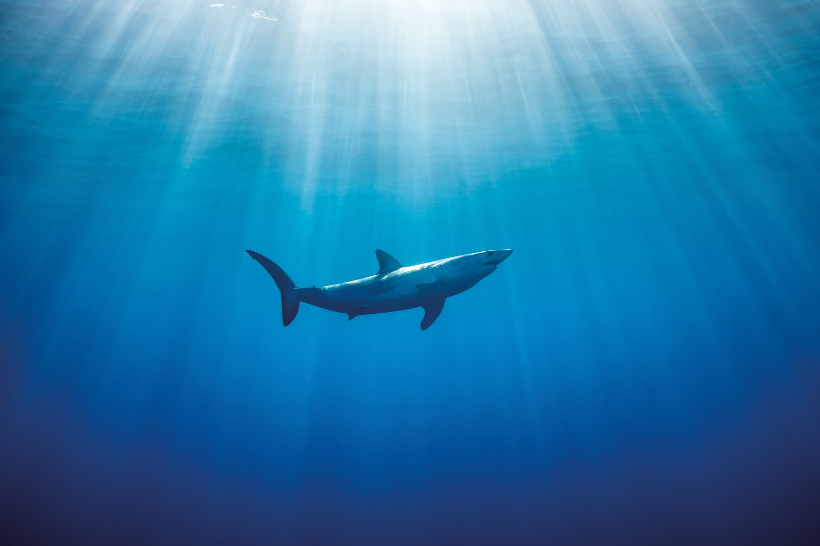 In New Zealand waters, male mako sharks (identifiable by a pair of claspers near the anal fin) far outweight females in number, but not in size. A female mako may be twice as heavy as a male, and will not reach sexual maturity until she is almost 20 years old. (Males are mature at around nine.) Juveniles are very common in the North Island's warmer seas, but no one knows where the females give birth.