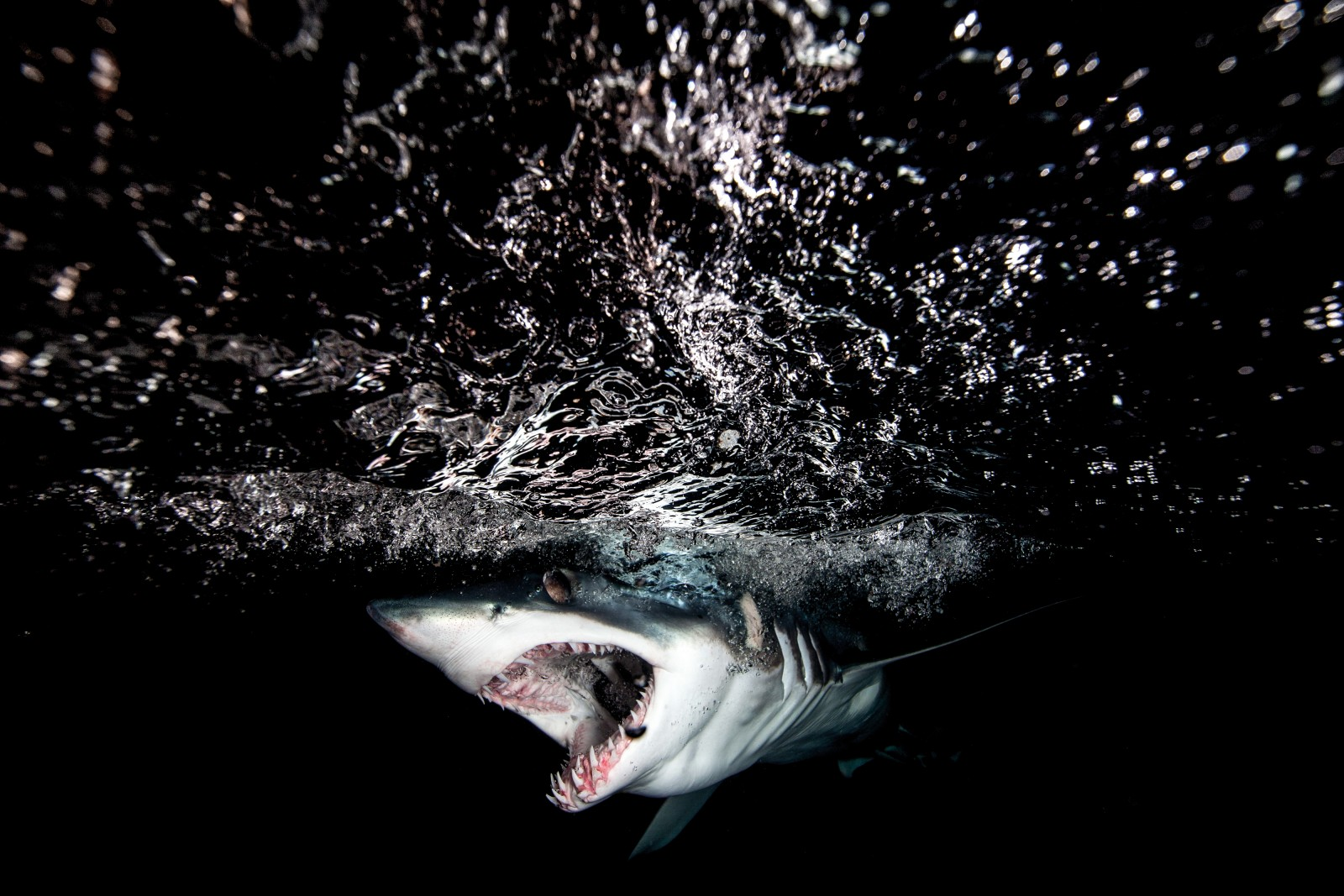 Like many sharks, the mako is an ambush predator, often lurking near the surface and approaching its prey from behind the light. In shooting this feature photographer Richard Robinson would often see a shark on one side, only to have it disappear from view and appear seconds later on his blind side.