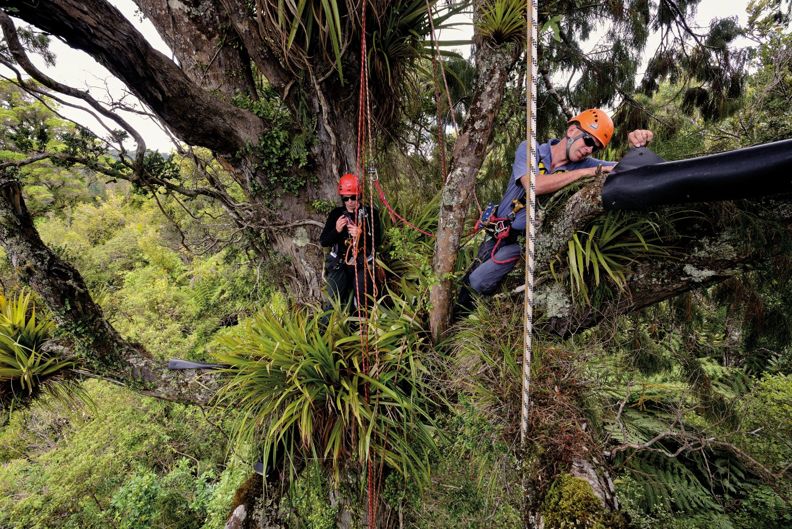 Black closed-cell foam sheets attached to branches create a damp, dark environment for invertebrates to shelter—until volunteer climbers Tanya Shennan, left, and Jeff Ninnes peel it back to check what is hiding beneath. Shennan regularly scales trees such as this rimu in Ark in the Park, a forest 'island' within Auckland's Waitakere Ranges, to monitor wildlife tracking tunnels—the black box in the lower left of the picture is one. These tunnels have captured the footprints of tree wētā, forest green geckos, centipedes, millipedes, ants, cockroaches, possums and rats.