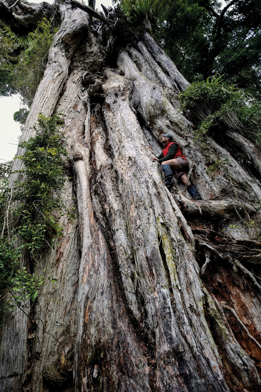 "The 39-metre Karapoti rātā in Upper Hutt has stood for more than 1000 years, and holds the title of New Zealand's largest rātā. While southern rātā grow from the ground up, northern rātā begin life as epiphytes, germinating amidst the branches of a mature tree. Over time, their roots grow down to reach the soil, forming a trunk of fused roots. Wellington filmmaker Paul Stanley Ward adds a sense of scale to the Karapoti rātā's 15-metre girth. It's ""roughly the width of a couple of buses"", he says."