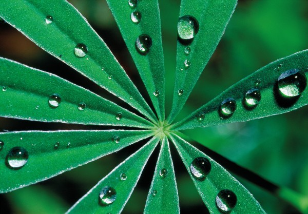 The success of the lupin in high-country regions is due, in part, to the hydrophobic properties of the leaves, which allow morning dew to be collected and used efficiently by the plant.
